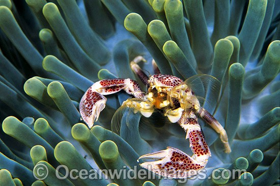 Spotted Porcelain Crab (Neopetrolisthes maculata) in sea anemone, feeding on suspended plankton. Bali, Indonesia. Within the Coral Triangle. Photo - Gary Bell