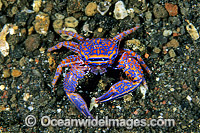 Blue Porcelain Crab Photo - Gary Bell