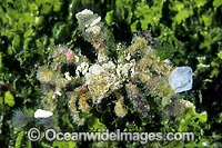 Decorator Crab decorated in Sponge Tunicate photo