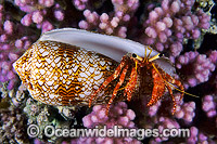 Hermit Crab inTextile Cone shell image