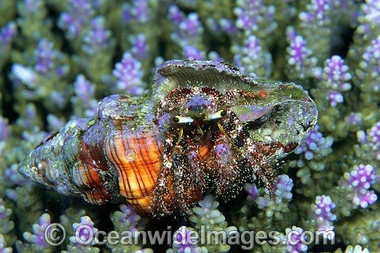 Hermit Crab (Dardanus lagopodes) - living in a cone shell. Bali, Indonesia Photo - Gary Bell