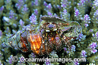 Hermit Crab in cone shell image