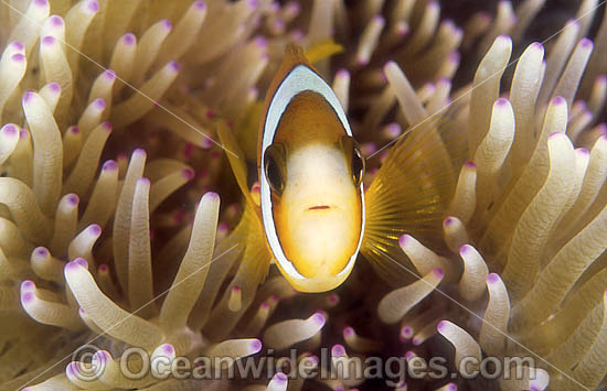 Great Barrier Reef Anemonefish (Amphiprion akindynos) amongst anemone tentacles. Great Barrier Reef, Queensland, Australia