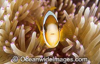 Great Barrier Reef Anemonefish Photo - Gary Bell