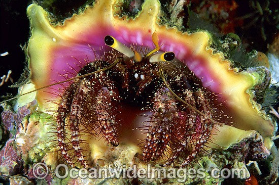 Hermit Crab (Dardanus lagopodes) - living in a shell. Great Barrier Reef, Queensland, Australia Photo - Gary Bell