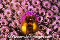 Coral Hermit Crab in Coral Photo - Gary Bell