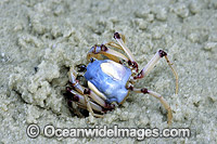 Soldier Crab Mictyris longicarpus Photo - Gary Bell
