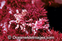 Candy Crab decorated in Soft Coral Photo - Gary Bell