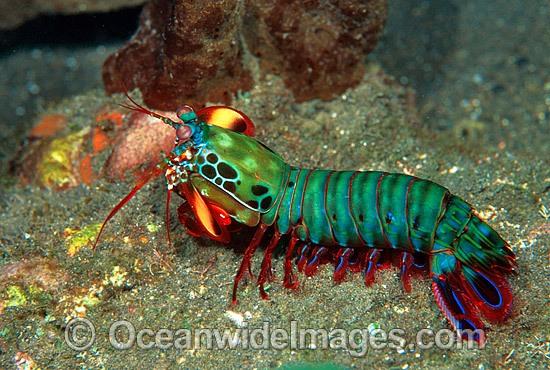 mantis shrimp even shrimp can great color nature