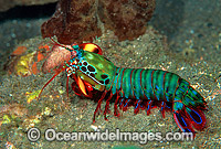 Mantis Shrimp Odontodactylus scyallarus Photo - Gary Bell