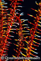 Crinoid Shrimp on Crinoid Featherstar photo