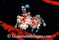 Harlequin Shrimp Hymenocera picta Photo - Gary Bell