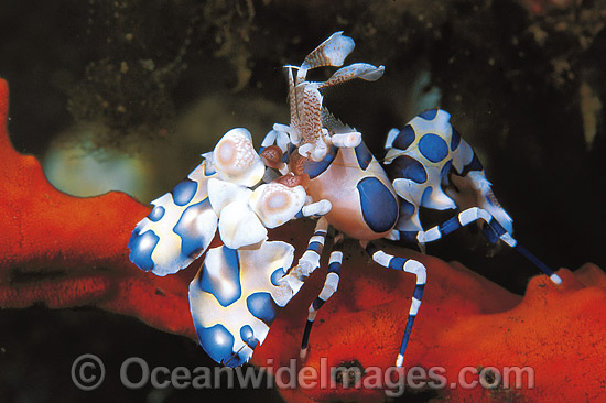 Harlequin Shrimp Hymenocera picta photo