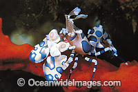 Harlequin Shrimp Hymenocera picta