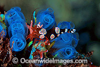 Commensal Anemone Shrimp on Sea Tunicate