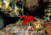 Cleaner Shrimp Lysmata debelius Photo - Gary Bell
