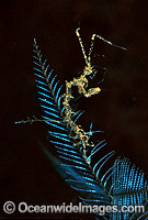 Ghost Shrimp on Stinging Hydroid Photo - Gary Bell