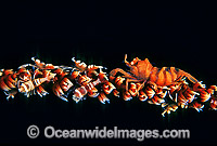 Whip Shrimp on Whip Coral Photo - Gary Bell