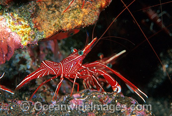 Hinge-beak Shrimp (Rhynchocinetes durbanensis) - male. Bali, Indonesia