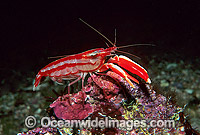 Candy-stripe Pistol Shrimp Alpheus astrinx Photo - Gary Bell