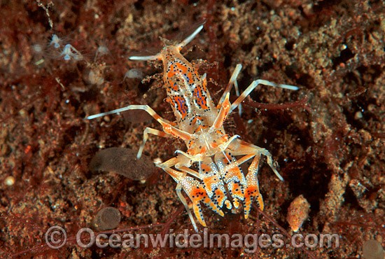 Elegant Shrimp (Phyllognathia ceratophthalma). Related species to the Harlequin Shrimp that also predates on Seastars. Bali, Indonesia Photo - Gary Bell