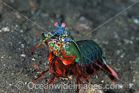 Mantis Shrimp (Odontodactylus scyallarus). Found on sand and rubble throughout the Indo-Pacific. Photo taken at Tulamben, Bali, Indonesia
