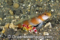 Flag-tail Shrimp Goby Amblyeleotris yanoi Photo - Gary Bell