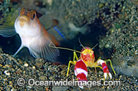 Flag-tail Shrimp Goby Amblyeleotris yanoi photo