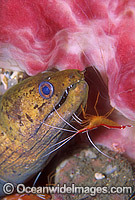 Spot-face Moray Eel cleaned by shrimp Photo - Gary Bell