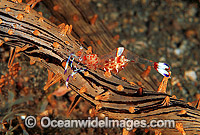 Anemone Shrimp on Sea Anemone