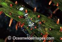 Anemone Shrimp Photo - Gary Bell