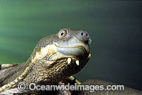 Bellinger Freshwater Turtle photo