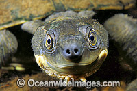 Freshwater Turtle Elseya georgesi photo