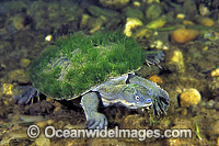 Bellinger Turtle Elseya georgesi photo