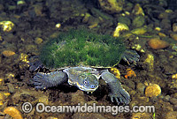 Bellinger Freshwater Turtle Elseya georgesi photo