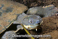 Bellinger River Freshwater Turtle Elseya georgesi photo