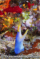 Blue Ribbon Eel Rhinomuraena quaesita Photo - Gary Bell