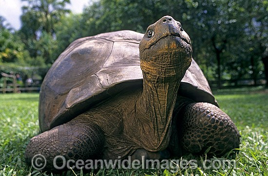 Giant Galapagos Land Tortoise (Geochelone nigra porteri). Harriet, born around 1830. Experts think Charles Darwin, famous for his theory of evolution, took the animal from the Galapagos Islands in south America around 1835. Beerwah, Queensland, Australia Photo - Gary Bell