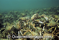 Spider Crabs aggregation Photo - Bill Boyle