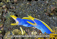 Blue Ribbon Eels Rhinomuraena quaesita Photo - Gary Bell