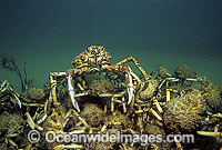 Spider Crabs Leptomithrax gaimardii Photo - Bill Boyle