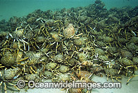 Spider Crabs mating aggregation Photo - Bill Boyle