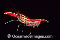 Candy-stripe Pistol Shrimp with eggs Photo - Gary Bell