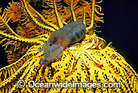 Crinoid Shrimp with eggs photo