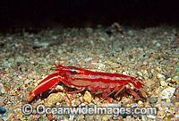 Candy-stripe Pistol Shrimp with eggs photo