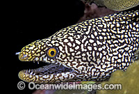 Spotted Moray Eel Gymnothorax isingteena