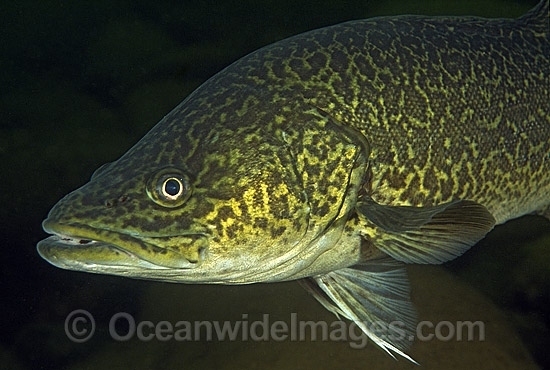 Eastern Freshwater Cod (Maccullochella ikei). Also known as the Clarence River Cod. Mann River, Grafton, New South Wales, Australia. Listed as Endangered Species on the IUCN Red List.