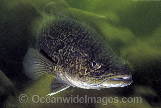 Eastern Freshwater Cod (Maccullochella ikei). Also known as the Clarence River Cod. Mann River, Grafton, New South Wales, Australia. Listed as Endangered Species on the IUCN Red List. Photo - Gary Bell