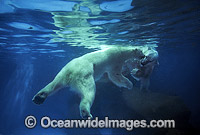 Polar Bear Ursus maritimus swimming underwater