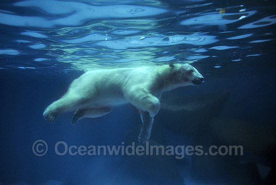 Polar Bear (Ursus maritimus) swimming underwater. North Pole region. Classified Vulnerable on the IUCN Red List. Photo - Gary Bell